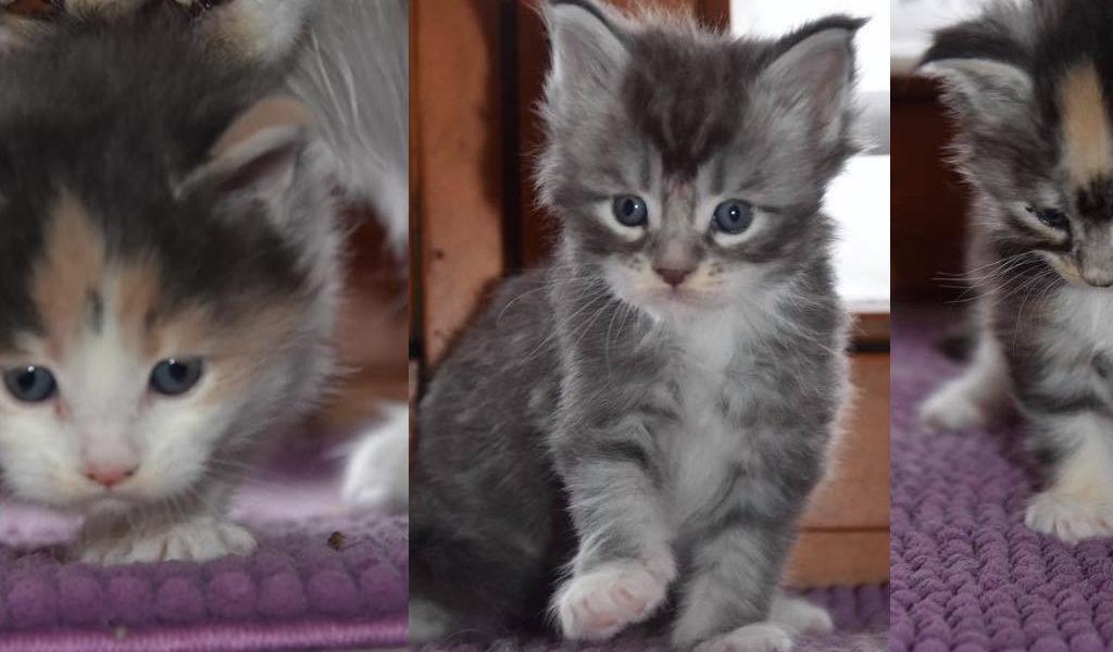 Naissances 7 Jan. 2020 – 3 chatons