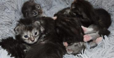 Naissances 21 Jui. 2020 – 7 chatons