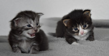 Naissances 24 Avr. 2021 – 2 chatons